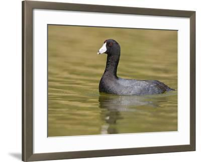 American Coot (Fulica Americana) on a Pond in Victoria, British Columbia, Canada-Glenn Bartley-Framed Photographic Print