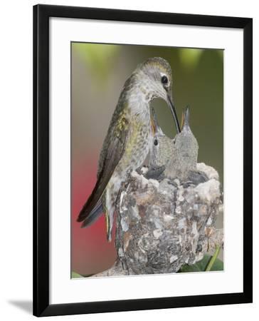 Female Anna's Hummingbird (Calypte Anna) Feeding Her Chicks in their Tiny Nest, Irvine-Hal Beral-Framed Photographic Print