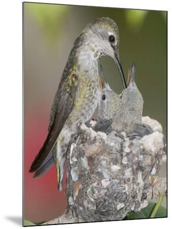 Female Anna's Hummingbird (Calypte Anna) Feeding Her Chicks in their Tiny Nest, Irvine-Hal Beral-Mounted Photographic Print