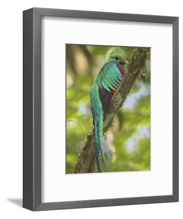 Quetzal, Costa Rica-Glenn Bartley-Framed Photographic Print