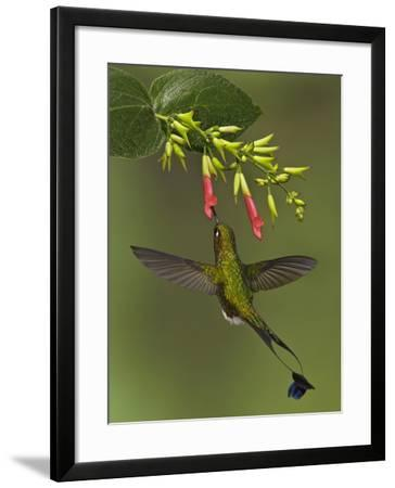 A Male Booted Racket-Tail Hummingbird (Ocreatus Underwoodii) Flying and Feeding-Glenn Bartley-Framed Photographic Print