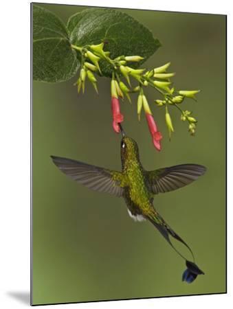 A Male Booted Racket-Tail Hummingbird (Ocreatus Underwoodii) Flying and Feeding-Glenn Bartley-Mounted Photographic Print