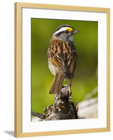 Male White-Throated Sparrow (Zonotrichia Albicollis), New Hampshire, USA-John Abbott-Framed Photographic Print