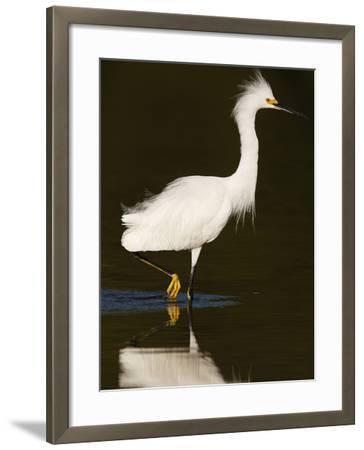 Snowy Egret (Egretta Thula)-John Cornell-Framed Photographic Print