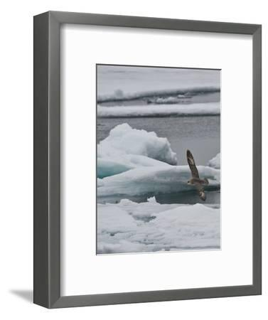 The Northern Fulmar (Fulmarus Glacialis), Spitsbergen Island, Svalbard, Norway-Buff & Gerald Corsi-Framed Photographic Print