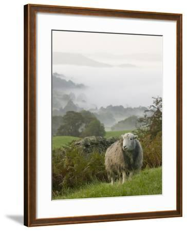 A Herdwick Sheep in the Lake District, United Kingdom-Ashley Cooper-Framed Photographic Print