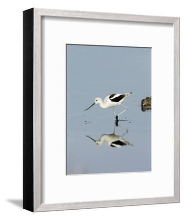 American Avocet (Recurvirostra Americana), Merritt Island National Wildlife Refuge, Florida-Marc Epstein-Framed Photographic Print