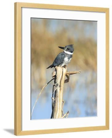 Male Belted Kingfisher (Ceryle Alcyon) Perching on Pig Weed Stalk-Marc Epstein-Framed Photographic Print
