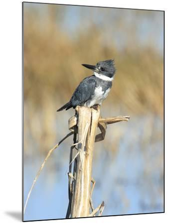 Male Belted Kingfisher (Ceryle Alcyon) Perching on Pig Weed Stalk-Marc Epstein-Mounted Photographic Print