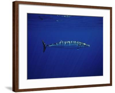 Ono or Wahoo (Acanthocybium Solandri) a Relative of the King Mackerel-David Fleetham-Framed Photographic Print