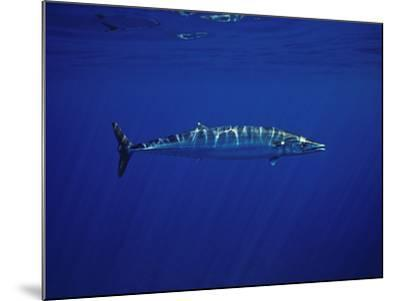 Ono or Wahoo (Acanthocybium Solandri) a Relative of the King Mackerel-David Fleetham-Mounted Photographic Print