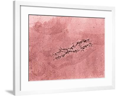 Filaments of DNA Spreading from the Core Protein of Isolated Chromosome-Donald Fawcett-Framed Photographic Print