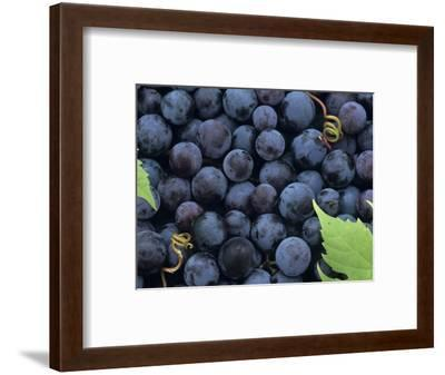 A Harvest of Juicy Concord Grapes (Vitis Labrusca)-Wally Eberhart-Framed Photographic Print