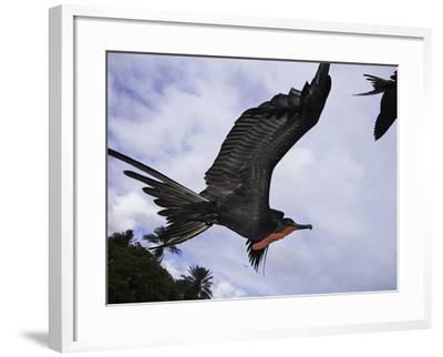 A Male Magnificent Frigatebird (Fregata Magnificens) in Flight over Santa Cruz Island-David Fleetham-Framed Photographic Print