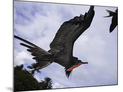 A Male Magnificent Frigatebird (Fregata Magnificens) in Flight over Santa Cruz Island-David Fleetham-Mounted Photographic Print