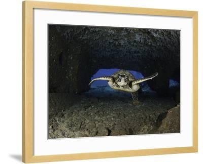 Green Sea Turtle (Chelonia Mydas) an Endangered Species, Swims Through a Tunnel-David Fleetham-Framed Photographic Print