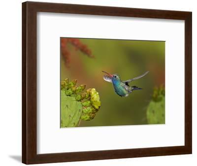 Broad-Billed Hummingbird (Cynanthus Latirostris) Approaching a Prickly Pear Cactus Bloom-Don Grall-Framed Photographic Print
