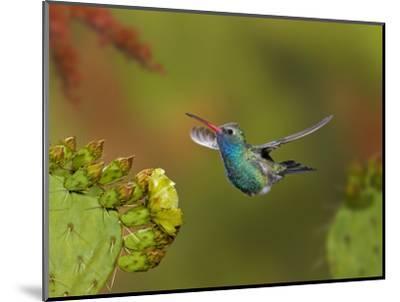 Broad-Billed Hummingbird (Cynanthus Latirostris) Approaching a Prickly Pear Cactus Bloom-Don Grall-Mounted Photographic Print