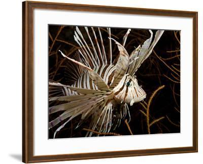 Lionfish (Pterois Volitans) Swimming in Black Coral, Philippines-David Fleetham-Framed Photographic Print