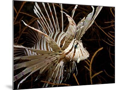 Lionfish (Pterois Volitans) Swimming in Black Coral, Philippines-David Fleetham-Mounted Photographic Print