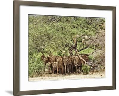African Bush Elephants (Loxodonta Africana) Huddled under Tree to Avoid Noon Day Sun-Adam Jones-Framed Photographic Print
