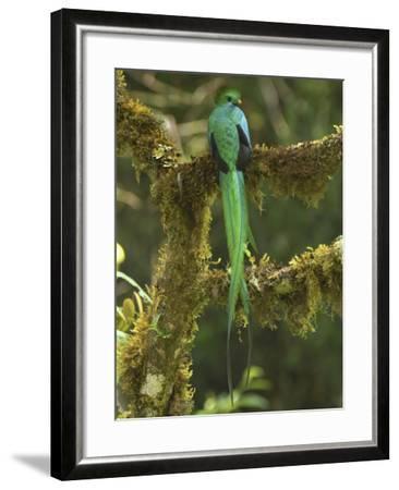 Resplendent Quetzal Male Perched on a Lichen Covered Branch (Pharomachrus Mocinno) Cierro La Muerte-Thomas Marent-Framed Photographic Print