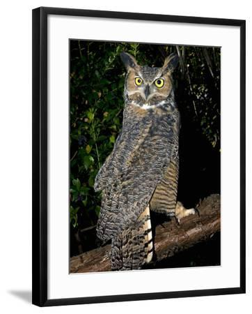 Great Horned Owls (Bubo Virginianus) Native to North America and in Central and South America-Michael Kern-Framed Photographic Print