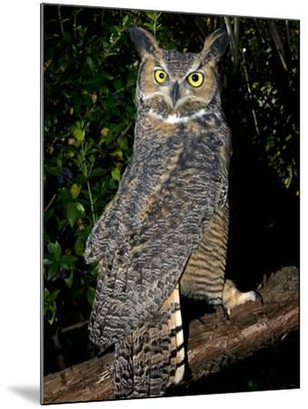 Great Horned Owls (Bubo Virginianus) Native to North America and in Central and South America-Michael Kern-Mounted Photographic Print