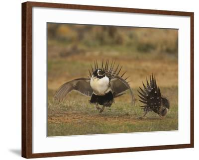 Male Greater Sage-Grouse (Centrocercus Urophasianus) Displaying-Jack Milchanowski-Framed Photographic Print