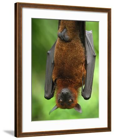 Flying Fox (Pteropus Vampyrus), Malaysia-Thomas Marent-Framed Photographic Print