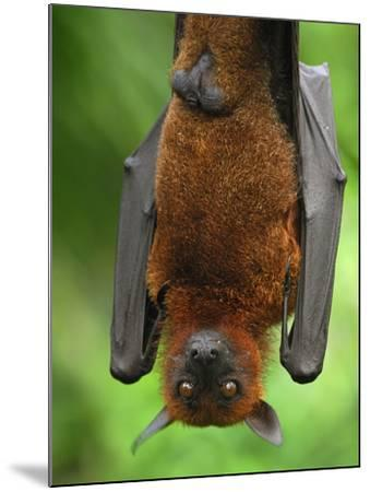 Flying Fox (Pteropus Vampyrus), Malaysia-Thomas Marent-Mounted Photographic Print