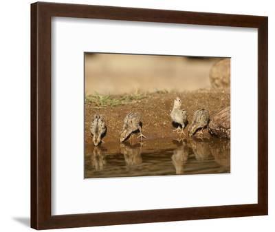 Gambel's Quail Chicks Drinking at a Waterhole (Callipepla Gambelii), Arizona, USA-Mary Ann McDonald-Framed Photographic Print
