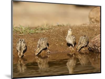 Gambel's Quail Chicks Drinking at a Waterhole (Callipepla Gambelii), Arizona, USA-Mary Ann McDonald-Mounted Photographic Print