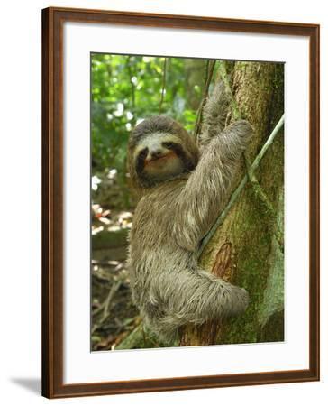 Brown-Throated Three-Toed Sloth (Bradypus Variegatus), Cahuita National Park, Costa Rica-Thomas Marent-Framed Photographic Print