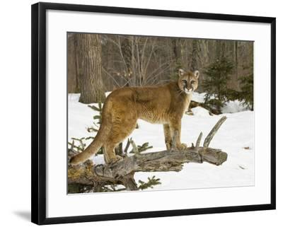 Mountain Lion (Felis Concolor) Standing on a Log-Jack Milchanowski-Framed Photographic Print
