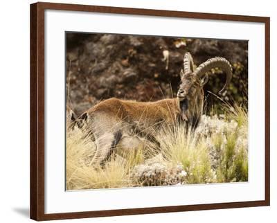 Walia Ibex Male (Capra Walie), Simien Mountains National Park, Ethiopia-Mary Ann McDonald-Framed Photographic Print