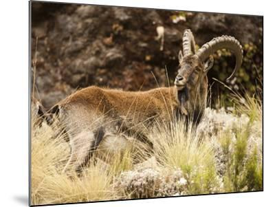 Walia Ibex Male (Capra Walie), Simien Mountains National Park, Ethiopia-Mary Ann McDonald-Mounted Photographic Print