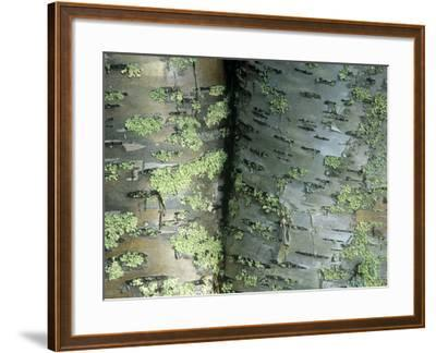 Lichens Growing on the Bark of Paper Birch Trees, Betula Papyrifera, USA-Joe McDonald-Framed Photographic Print