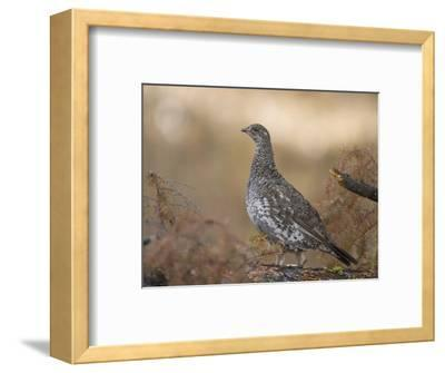 Blue Grouse, Dendragapus Obscurus, Western North America-Joe McDonald-Framed Photographic Print