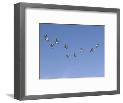 Flock of Canada Geese (Branta Canadensis), Montana, USA-Neal Mischler-Framed Photographic Print