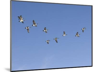 Flock of Canada Geese (Branta Canadensis), Montana, USA-Neal Mischler-Mounted Photographic Print
