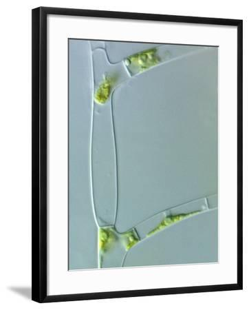 Stigeoclonium, a Branched Filamentous Green Alga, Often Forming Hair-Like Extensions Cells-Peter Siver-Framed Photographic Print