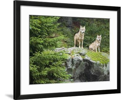 Gray Wolves (Canis Lupus), Bavarian Forest National Park, Germany, Europe-Fritz Polking-Framed Photographic Print
