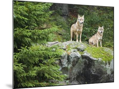 Gray Wolves (Canis Lupus), Bavarian Forest National Park, Germany, Europe-Fritz Polking-Mounted Photographic Print