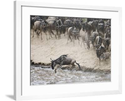 Wildebeests or Gnus Jumping into the Mara River to Cross During Migration-Arthur Morris-Framed Photographic Print