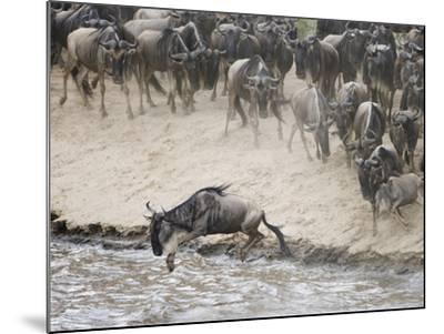 Wildebeests or Gnus Jumping into the Mara River to Cross During Migration-Arthur Morris-Mounted Photographic Print