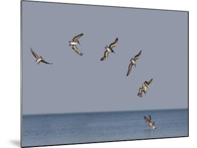 Pelicans-Marli Miller-Mounted Photographic Print