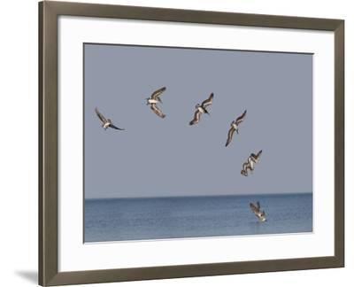 Pelicans-Marli Miller-Framed Photographic Print