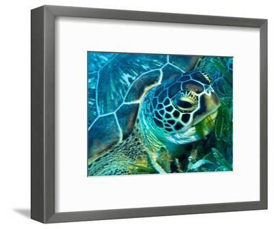 Green Turtle Feeding in Sea Grass Beds, Red Sea, Egypt-Louise Murray-Framed Photographic Print