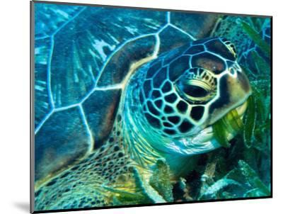 Green Turtle Feeding in Sea Grass Beds, Red Sea, Egypt-Louise Murray-Mounted Photographic Print